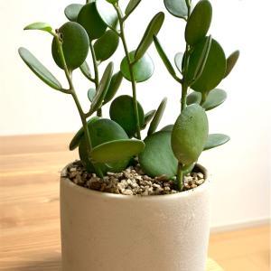 部屋が一段とおしゃれになる多肉植物『グリーンドラム』
