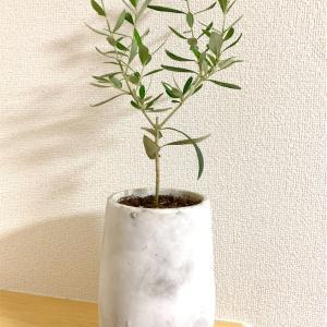 室内でも育てられる!成長が目に見えてわかるオリーブの木