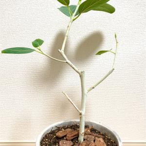 【Green Life】白い幹のシンボルツリー『フィカス・ベンガレンシス(ベンガルゴムの木)』