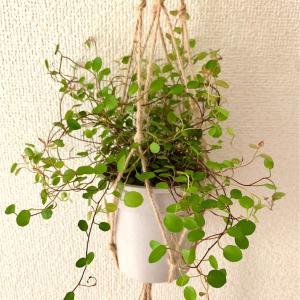 【Green Life】細いワイヤーの様な茎『ワイヤープランツ』の育て方