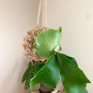 【Green Life】ビカクシダ(ネザーランド)を鉢から水苔に。