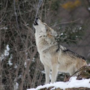 イヌのしつけや訓練でよくオオカミが登場するので気になって調べてみたよ