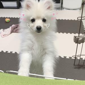子犬のおやつ♡4ヶ月半のポメ