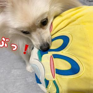 飼い主の枕?を奪ってく犬…🐕