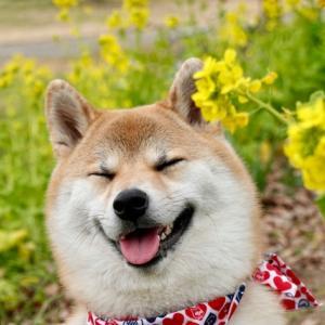 柴犬は性格悪いって本当!?飼う前に知りたい性格と特徴