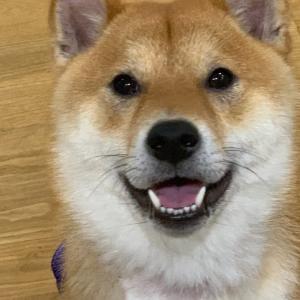 柴犬レンくん、お目目キラキラ