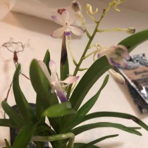 バンダ ルースネアリー開花中
