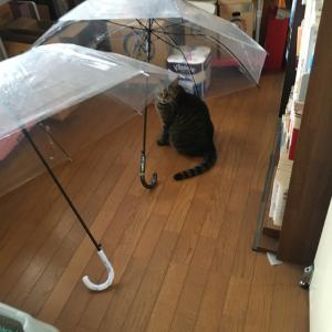 にゃんこ 梅雨入りの傘のした