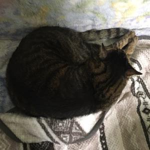 にゃんこ すっかり冬モードの猫ソファ