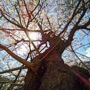 見上げた桜花と空の青さに