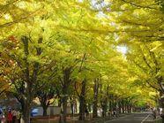 秋色 イチョウ並木
