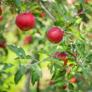 りんご狩りシーズン到来