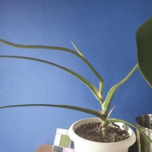 観葉植物が元気 運気も元気 金運アップのモンステラに新葉