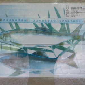 「吉川」で尺鮎が出ている