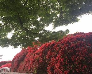 今年の京都・長岡天満宮のキリシマツツジは。。。【人気記事を再アップ!】