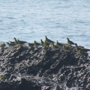 照ヶ崎海岸でアオバトを見よう!