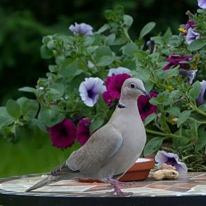 通勤途中の鳩にびっくり!