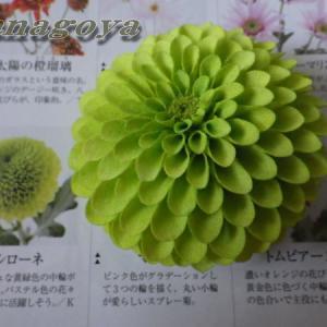 ポンポン菊(黄緑)コサージュ&髪飾り完成~