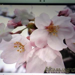 桜のコサージュの生地選びとお正月ディスプレー