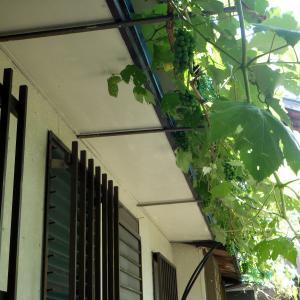 葡萄が緑のカーテンに…