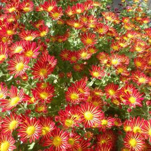 一重咲き小菊が花盛りです