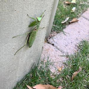 芝生にくる虫たち〜カマキリ