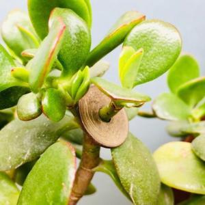 多肉植物を挿し木でふやす方法
