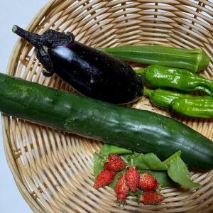 今日も野菜を収穫