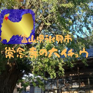 【富山】氷見市・常念寺の大イチョウ