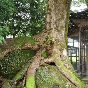 【富山】小矢部のパワースポット・宮島神社と岩抱きのけやき