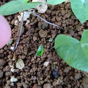 パイナップルの実生&亀甲竜の発芽・・・