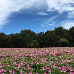 見渡す限りのピンク・引き続き武蔵丘陵森林公園のペニチュア