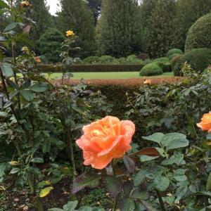 秋バラを見に…シトシト雨降りの新宿御苑