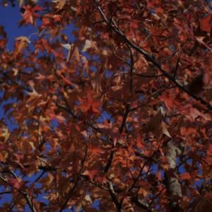 紅葉の公園〜楓〜