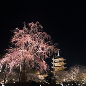 東寺の桜とアオサギ