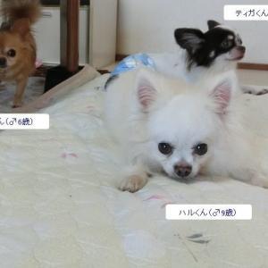 今日のペットホテルのお客さんは、チワワ男の子3名です♪ 姫ちゃん・花ちゃんは昨日帰宅しました~