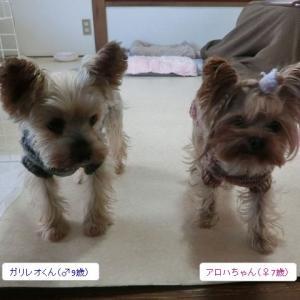 今日ペットホテルにやって来たのは、ヨーキーちゃん2名とチワワちゃん3名です♪