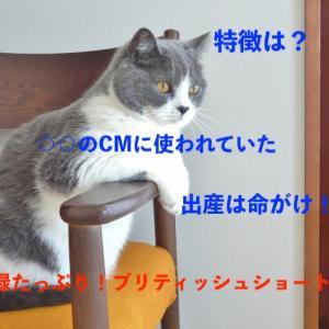猫の特徴と飼育方法〜ブリティッシュショートヘア編〜