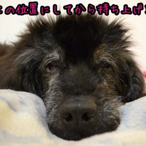 老犬の寝返り方法@完全寝たきりニューファンドランド