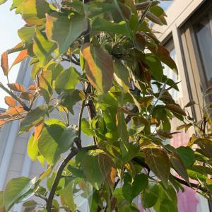 梨の木と。。サニーボーイ。。