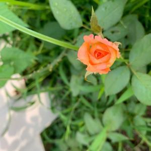 薔薇の蕾。。雑草との戦い。。