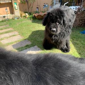 超大型犬シニアあるある。。