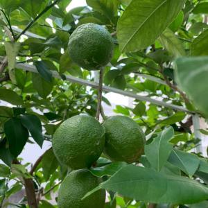 レモンの木と葉物野菜