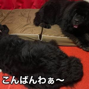 【寝ダコ防止】超大型犬の場合