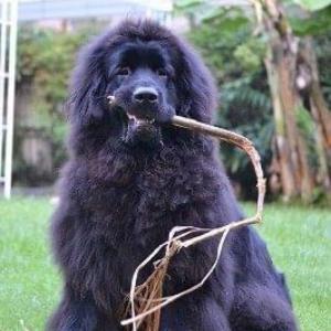 8ヶ月のニューファンドランド犬