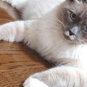 猫(ラグドール・オス)の体重推移表