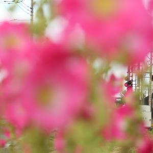 立葵で囲む