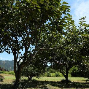 やはり柿の木