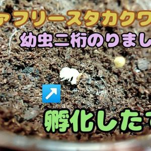 ファブリースノコギリクワガタ亜種タカクワイ、無事幼虫二桁のりました