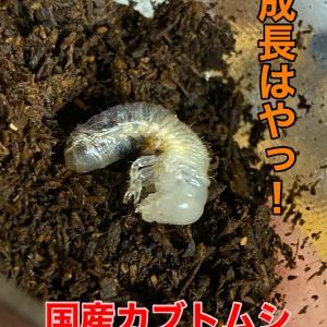 国産カブトムシ幼虫は成長早いですね